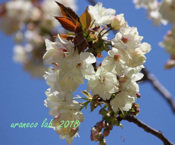 4月12日鬱金桜2