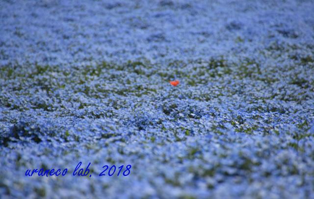 4月23日ネモフィラの丘3