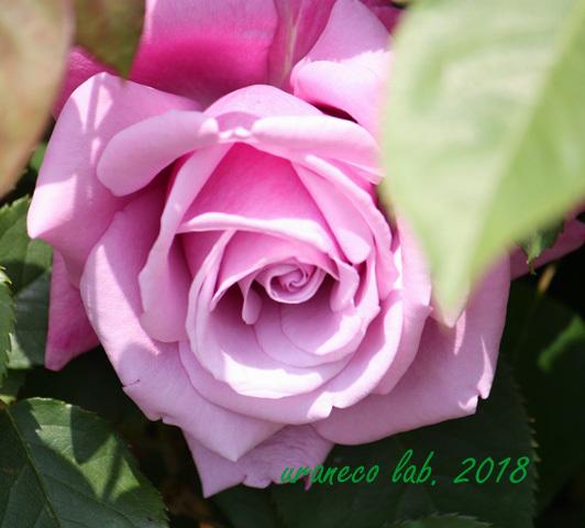 4月18日薔薇