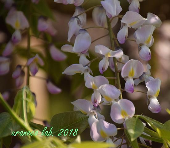 4月24日wistaria7