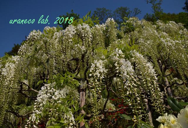 4月24日wistaria4