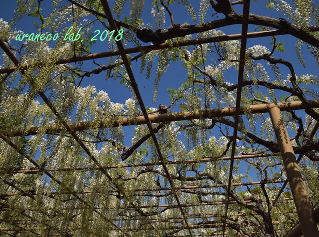 4月24日wistaria5
