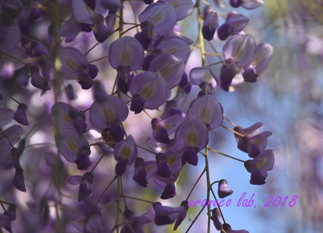 4月24日wistaria
