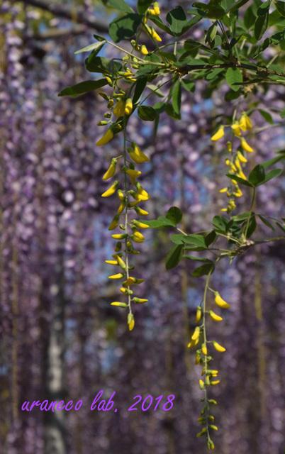 4月24日wistaria3