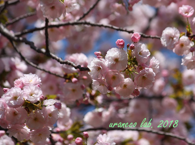 4月12日八重桜6