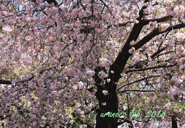 4月12日八重桜4
