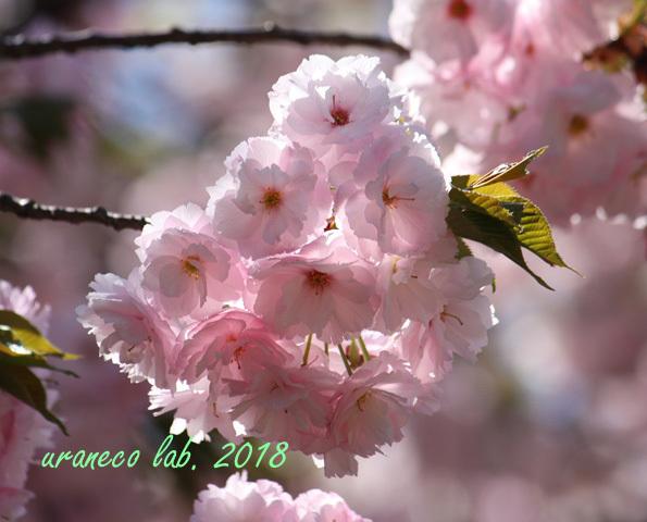 4月12日八重桜3