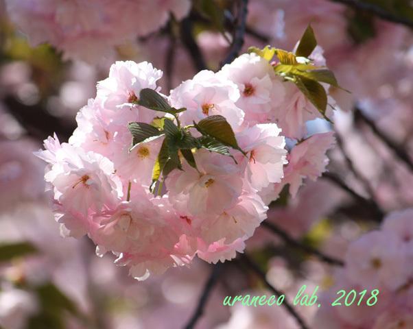 4月12日八重桜2