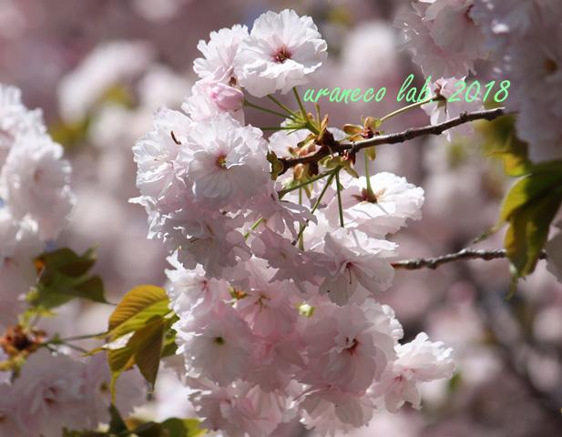 4月12日八重桜