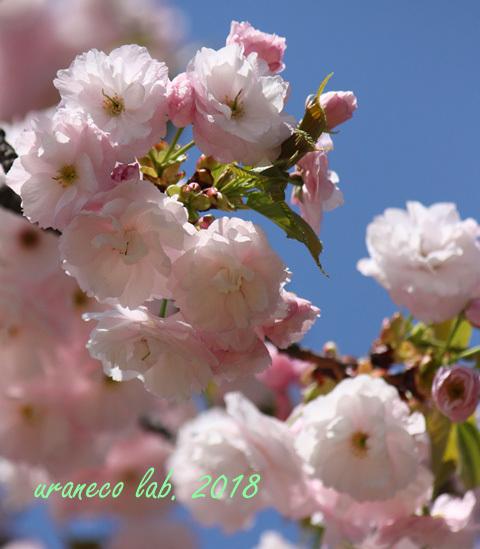 4月13日八重桜
