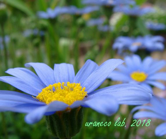 4月20日青い花2