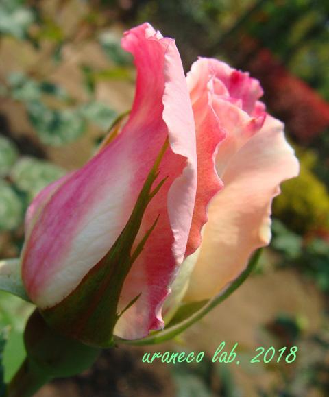 4月20日薔薇2