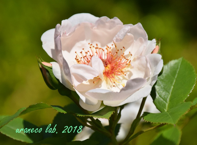 4月27日薔薇7