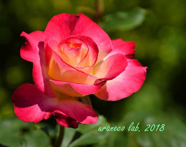 4月27日薔薇5