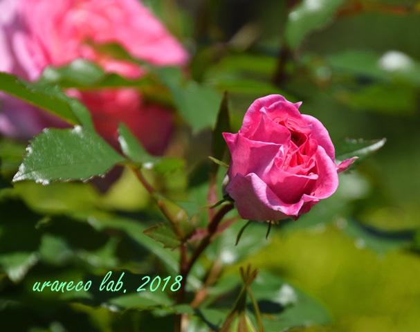 4月27日薔薇4