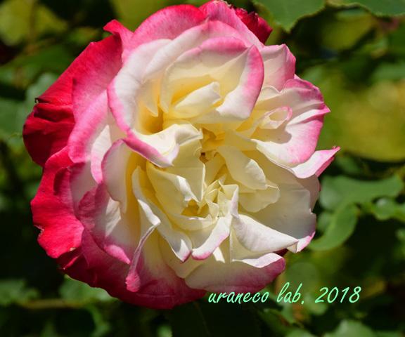 4月27日薔薇3