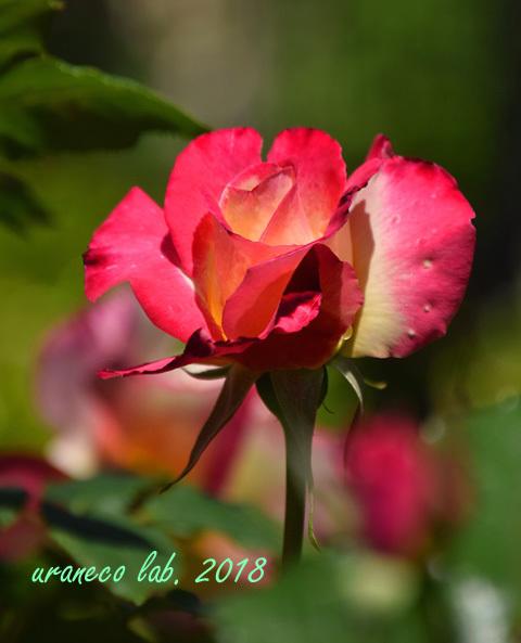 4月27日薔薇2