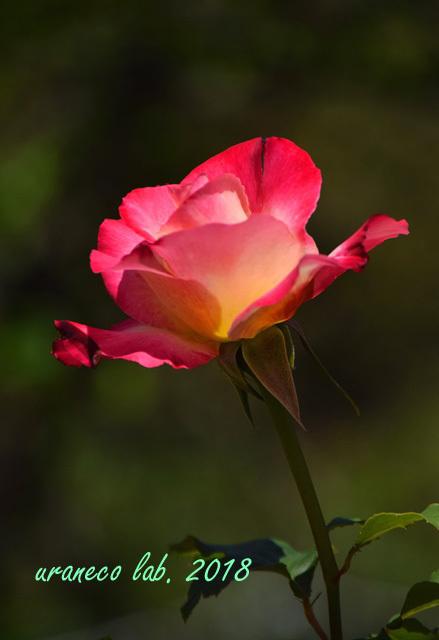 4月27日薔薇