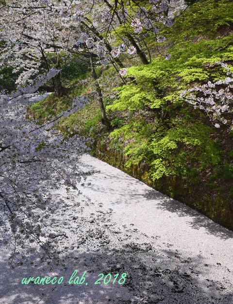 5月1日弘前公園花筏のお堀3