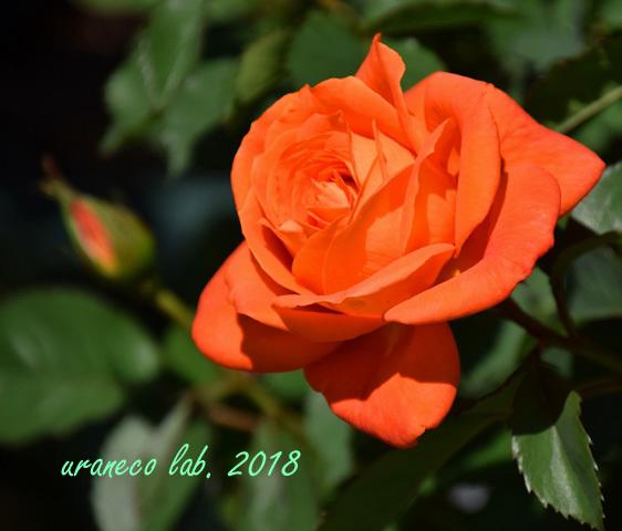 4月27日薔薇8