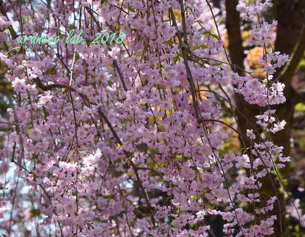 5月1日弘前公園枝垂桜2