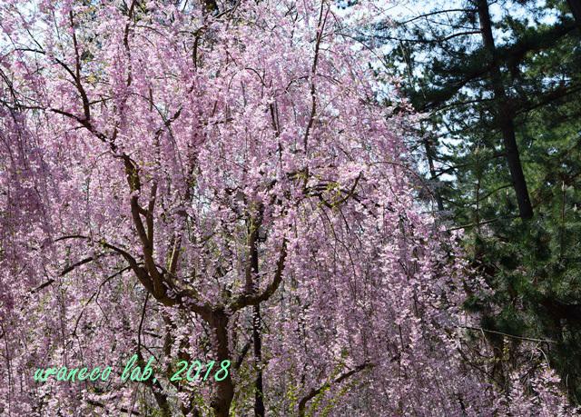 5月1日弘前公園枝垂桜