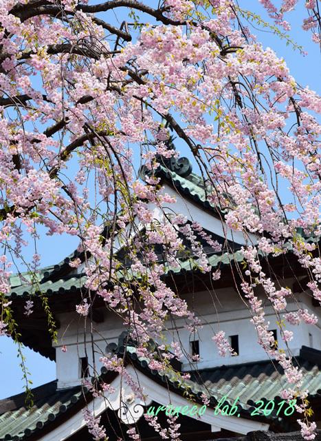 5月1日弘前城と枝垂桜