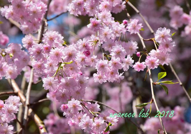 5月1日弘前公園枝垂桜6