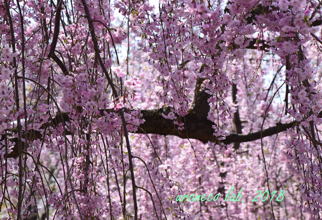 5月1日弘前公園枝垂桜3