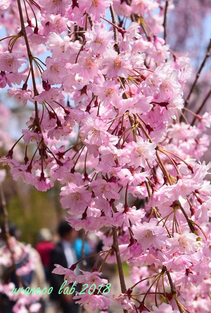 5月1日弘前公園枝垂桜4
