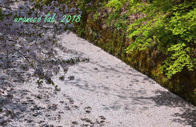 5月1日弘前公園花筏のお堀