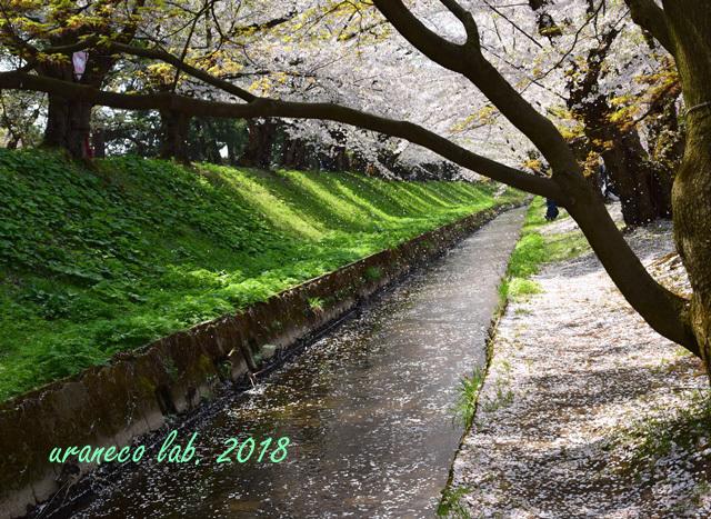 5月2日弘前公園散りゆく桜