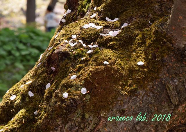 5月2日弘前公園散りゆく桜2