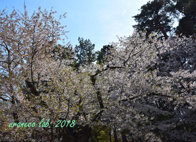 5月1日弘前公園日本最古の桜
