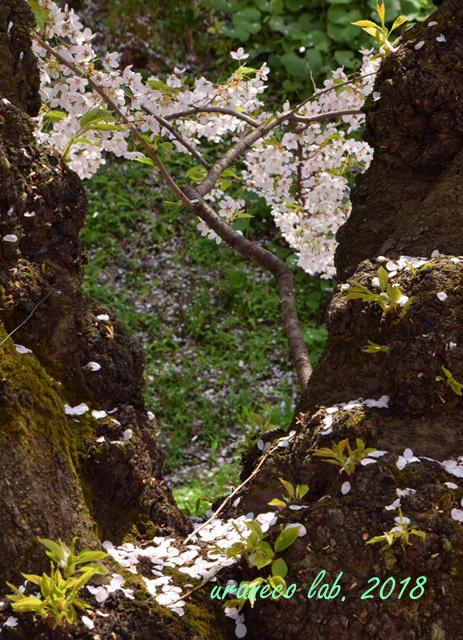 5月2日弘前公園散りゆく桜3