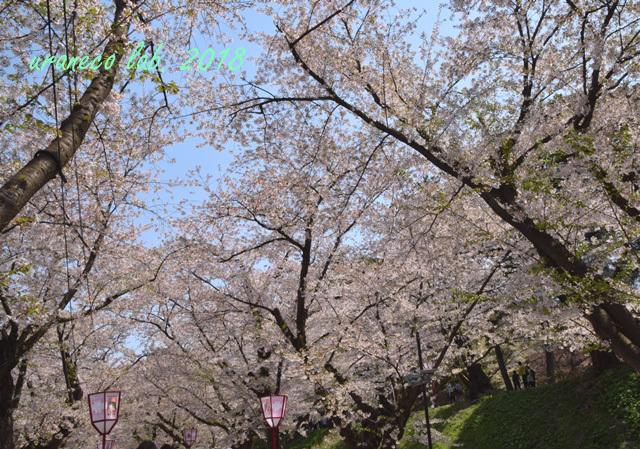 5月2日弘前公園桜のトンネル