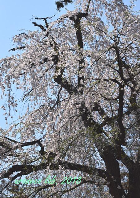 5月1日角館枝垂桜4