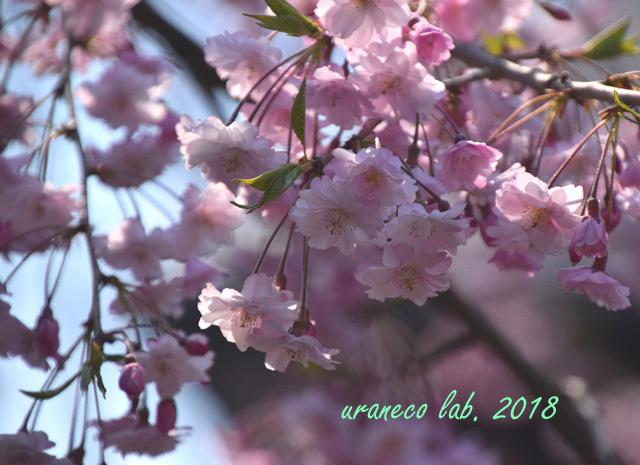 5月1日角館枝垂桜3