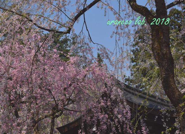 5月1日角館枝垂桜2