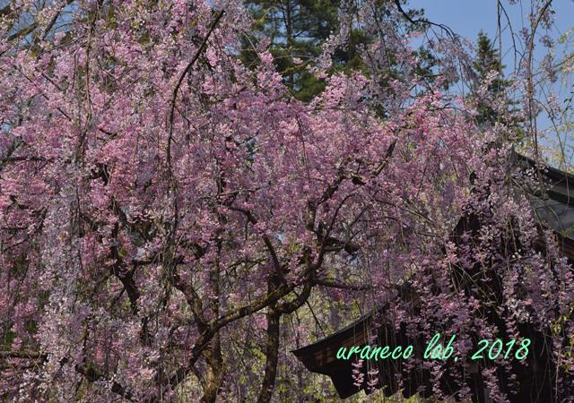 5月1日角館枝垂桜