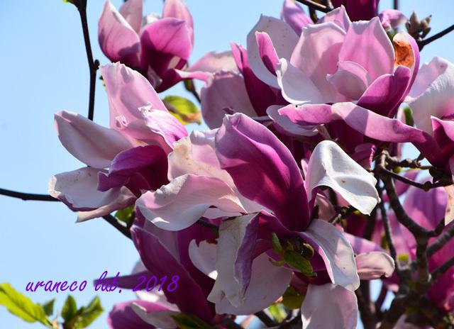 5月1日紫木蓮