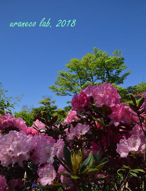 4月27日西洋石楠花3