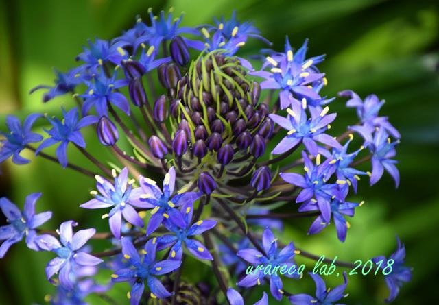 4月27日青い星の花4