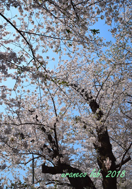 5月7日角館桧木内川2