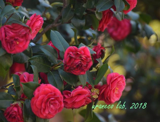 5月9日遅咲きの椿