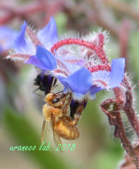 4月18日黄金色の蜂