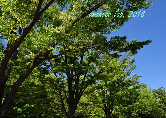 5月9日欅新緑