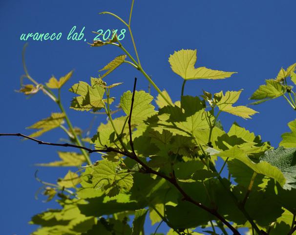 4月27日葡萄の新芽2