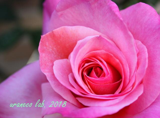 5月14日薔薇