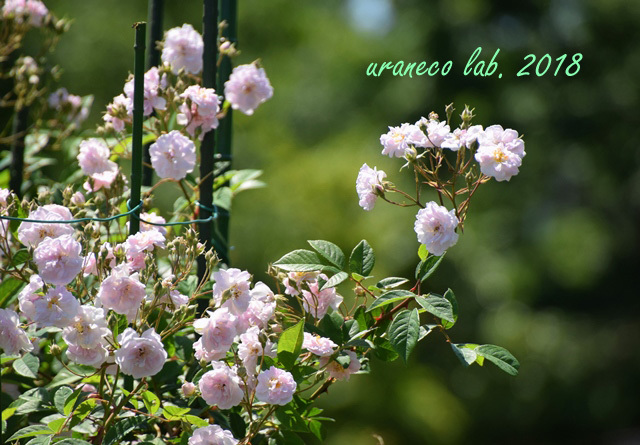 5月9日薔薇4